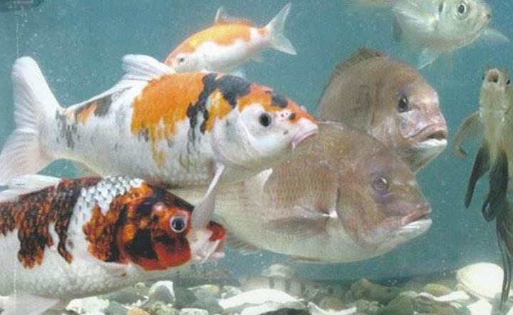 マイクロバブルで海水魚と淡水魚を同時に飼育